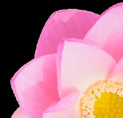 lotus met geel bloemenhart